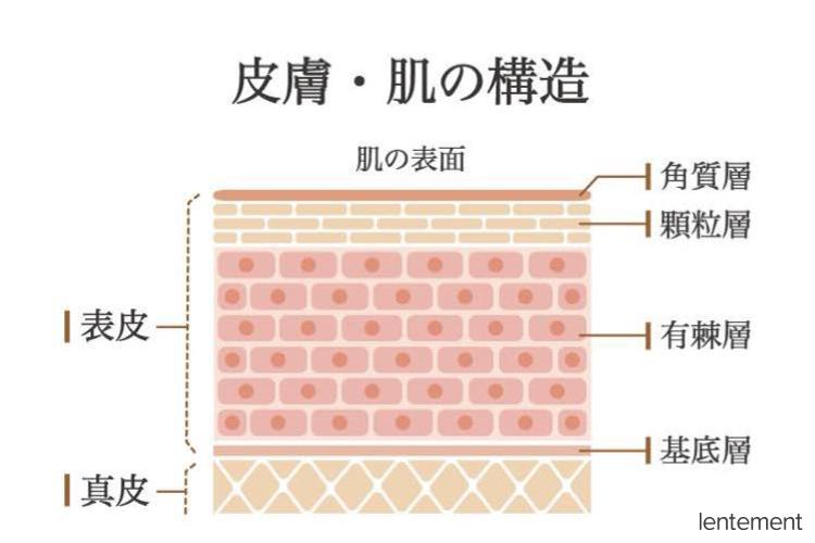 皮膚・肌の構造