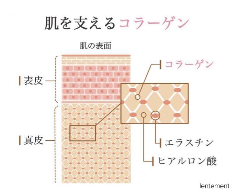 肌を支えるコラーゲンの構造